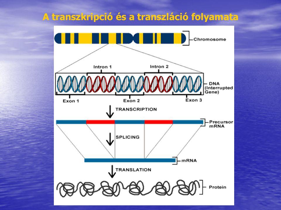 Transzformáció Szelekciós táptalajra helyezzük a korongokat Fertőzés agrobaktérium szuszpenzióval