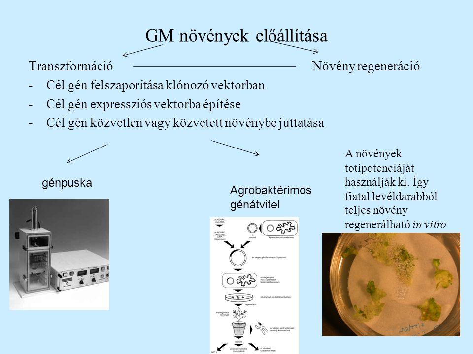 GM növények előállítása TranszformációNövény regeneráció -Cél gén felszaporítása klónozó vektorban -Cél gén expressziós vektorba építése -Cél gén közvetlen vagy közvetett növénybe juttatása génpuska Agrobaktérimos génátvitel A növények totipotenciáját használják ki.