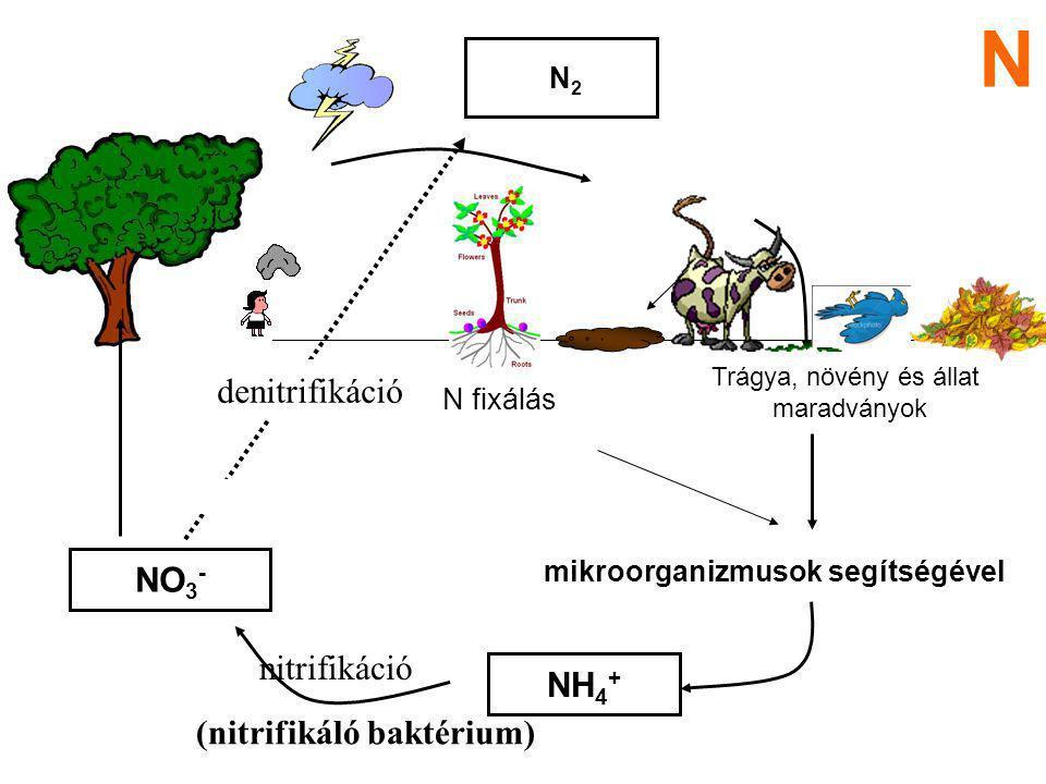 szerves N vegyületek átalakulása szervetlen formákká mineralizáció  nitrifikáció fogalma N a talajban, N körforgalom szervetlen N vegyületek átalakul