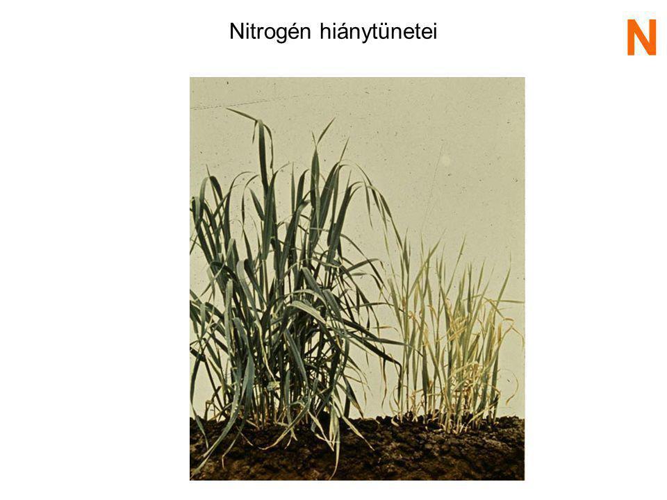 N 2 Trágya, növény és állat maradványok mikroorganizmusok segítségével NH 4 + NO 3 - (nitrifikáló baktérium) denitrifikáció N fixálás nitrifikáció N