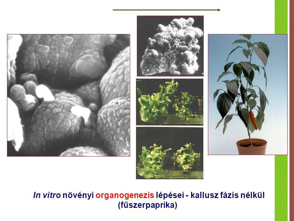In vitro növényi organogenezis lépései - kallusz fázis nélkül (fűszerpaprika)