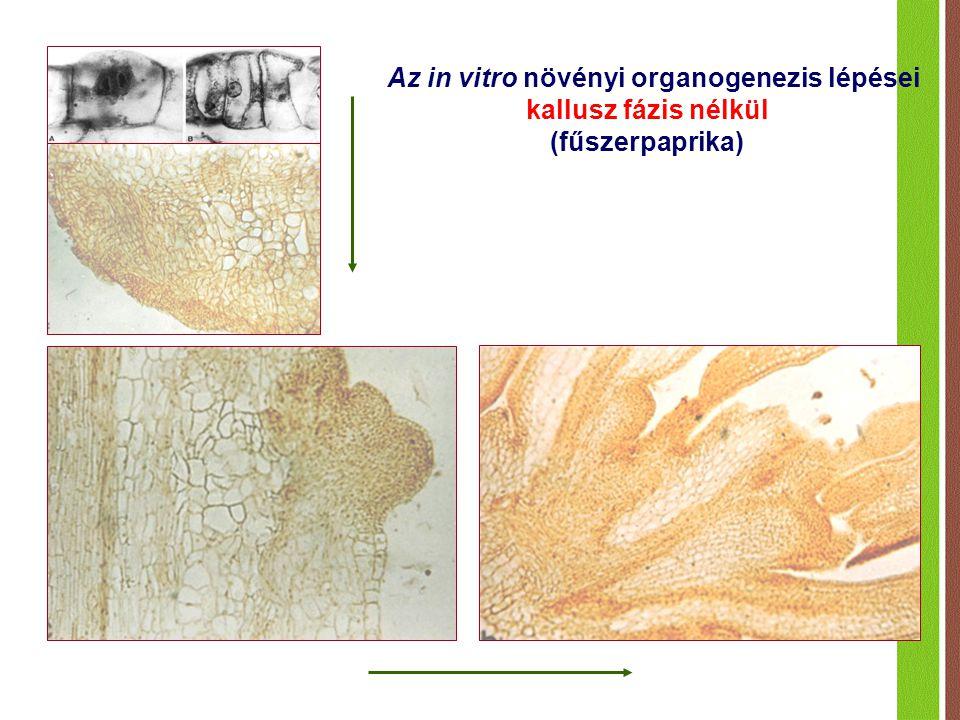 Az in vitro növényi organogenezis lépései kallusz fázis nélkül (fűszerpaprika)