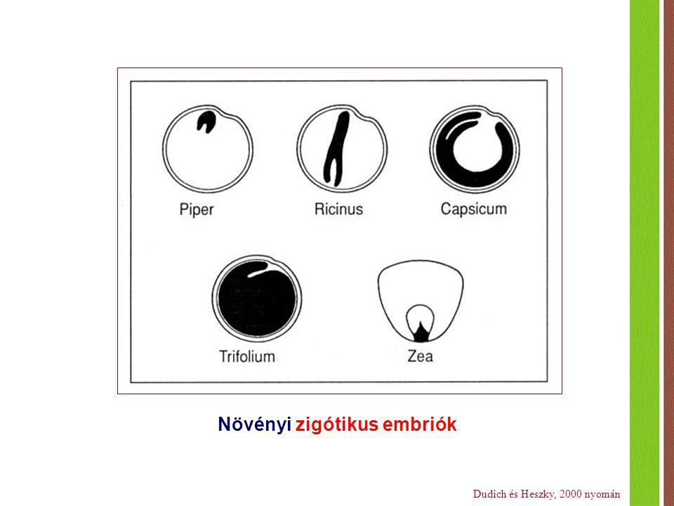 Növényi zigótikus embriók Dudich és Heszky, 2000 nyomán