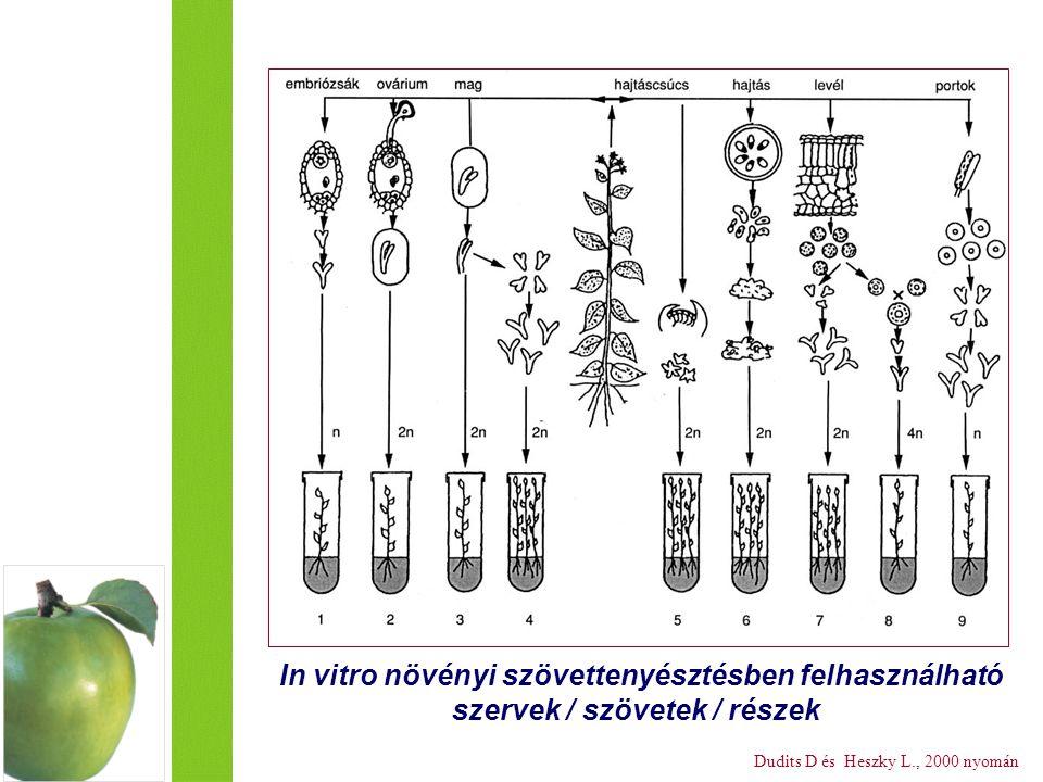 In vitro növényi szövettenyésztésben felhasználható szervek / szövetek / részek Dudits D és Heszky L., 2000 nyomán