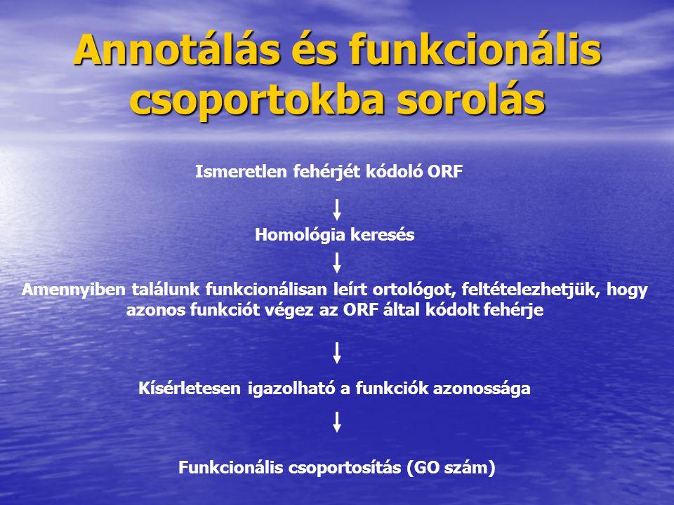 Annotálás és funkcionális csoportokba sorolás Ismeretlen fehérjét kódoló ORF Homológia keresés Amennyiben találunk funkcionálisan leírt ortológot, fel