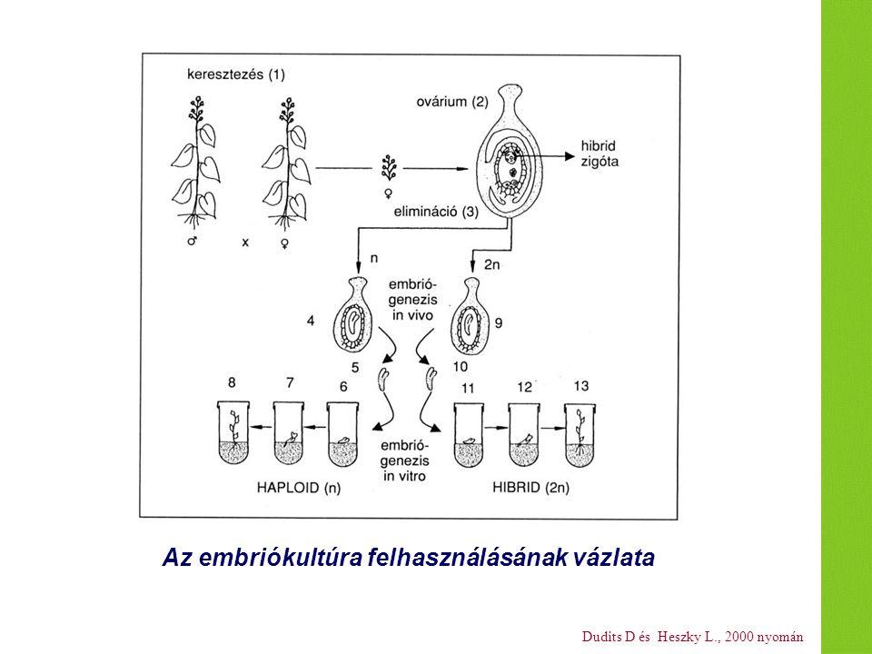 Dudits D és Heszky L., 2000 nyomán Az embriókultúra felhasználásának vázlata