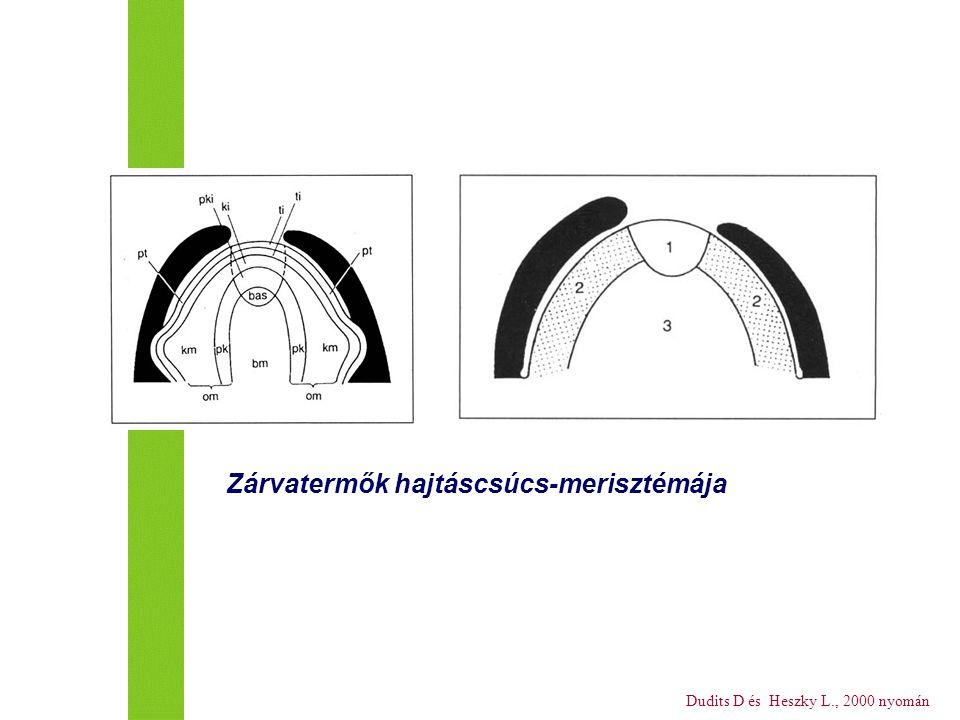 Dudits D és Heszky L., 2000 nyomán Zárvatermők hajtáscsúcs-merisztémája
