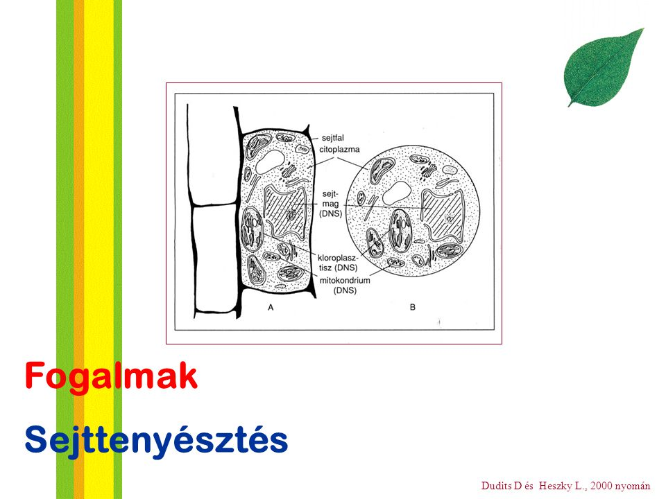 Sejttenyésztés Fogalmak Dudits D és Heszky L., 2000 nyomán