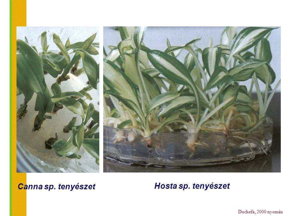 Duchefa, 2000 nyomán Canna sp. tenyészet Hosta sp. tenyészet