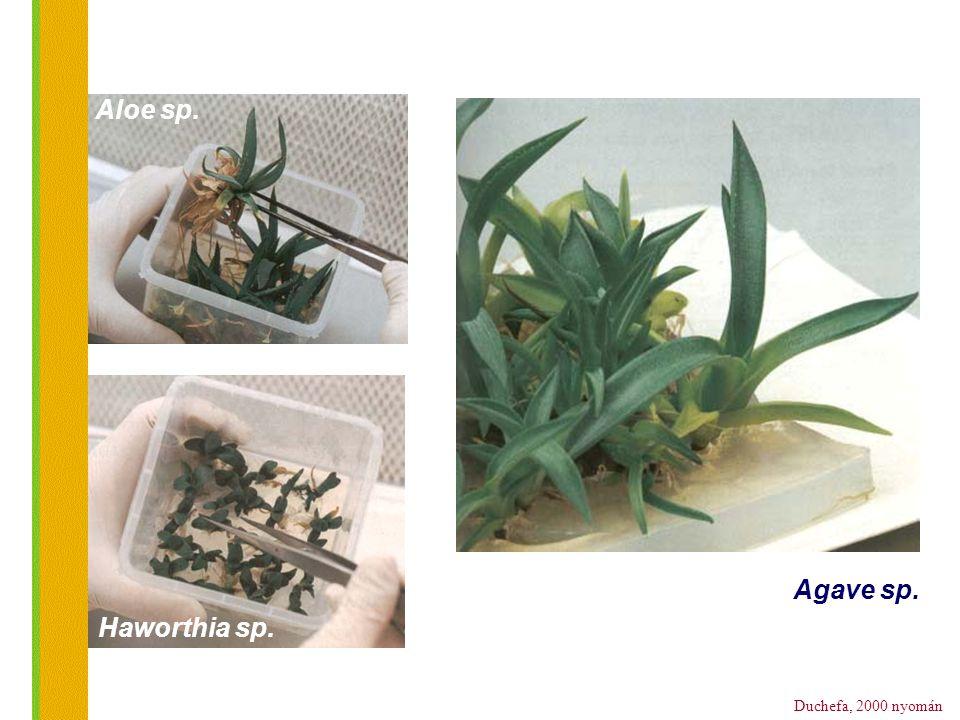 Duchefa, 2000 nyomán Agave sp. Haworthia sp. Aloe sp.