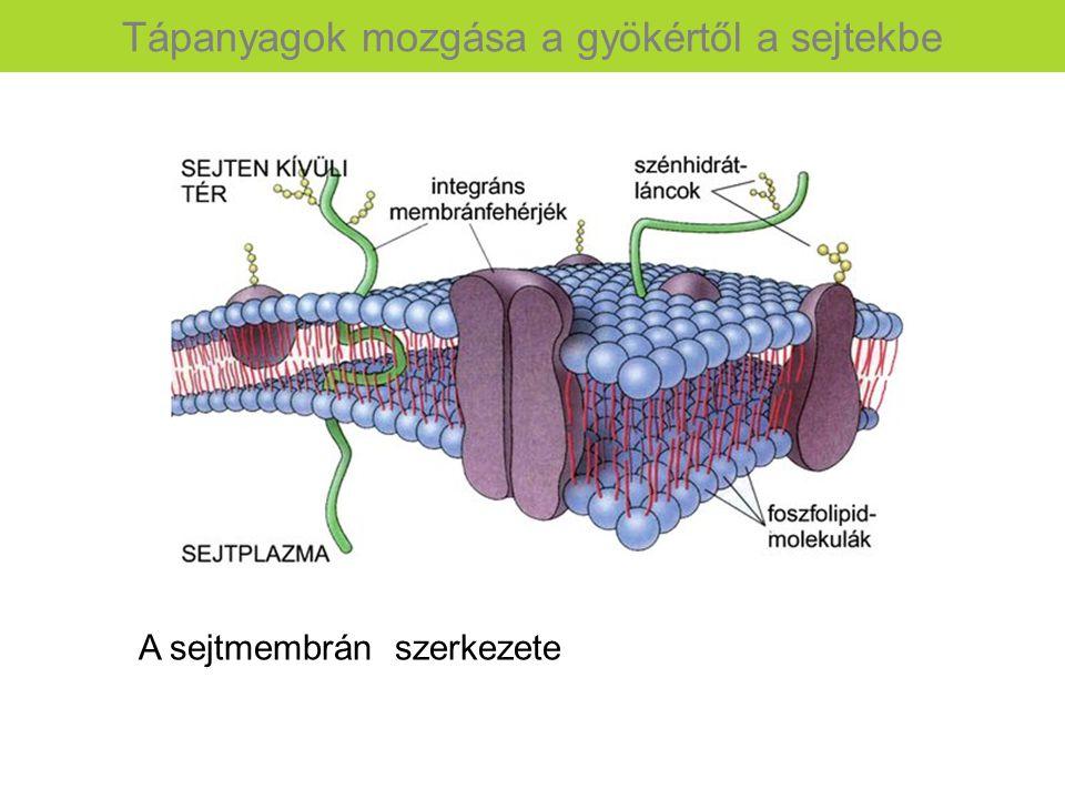 A sejtmembrán szerkezete Tápanyagok mozgása a gyökértől a sejtekbe