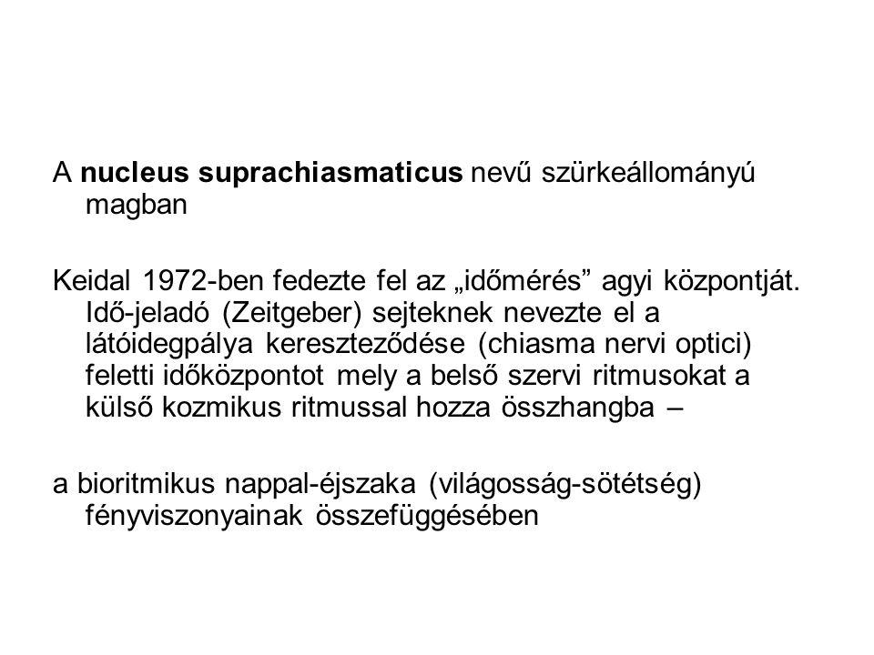 """A nucleus suprachiasmaticus nevű szürkeállományú magban Keidal 1972-ben fedezte fel az """"időmérés"""" agyi központját. Idő-jeladó (Zeitgeber) sejteknek ne"""