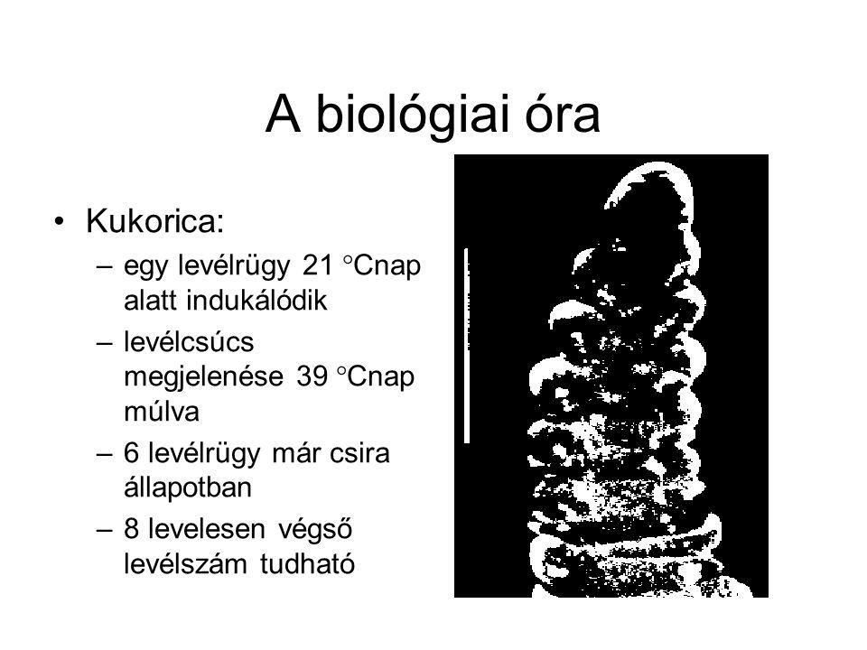 A biológiai óra Kukorica: –egy levélrügy 21 °Cnap alatt indukálódik –levélcsúcs megjelenése 39 °Cnap múlva –6 levélrügy már csira állapotban –8 levele