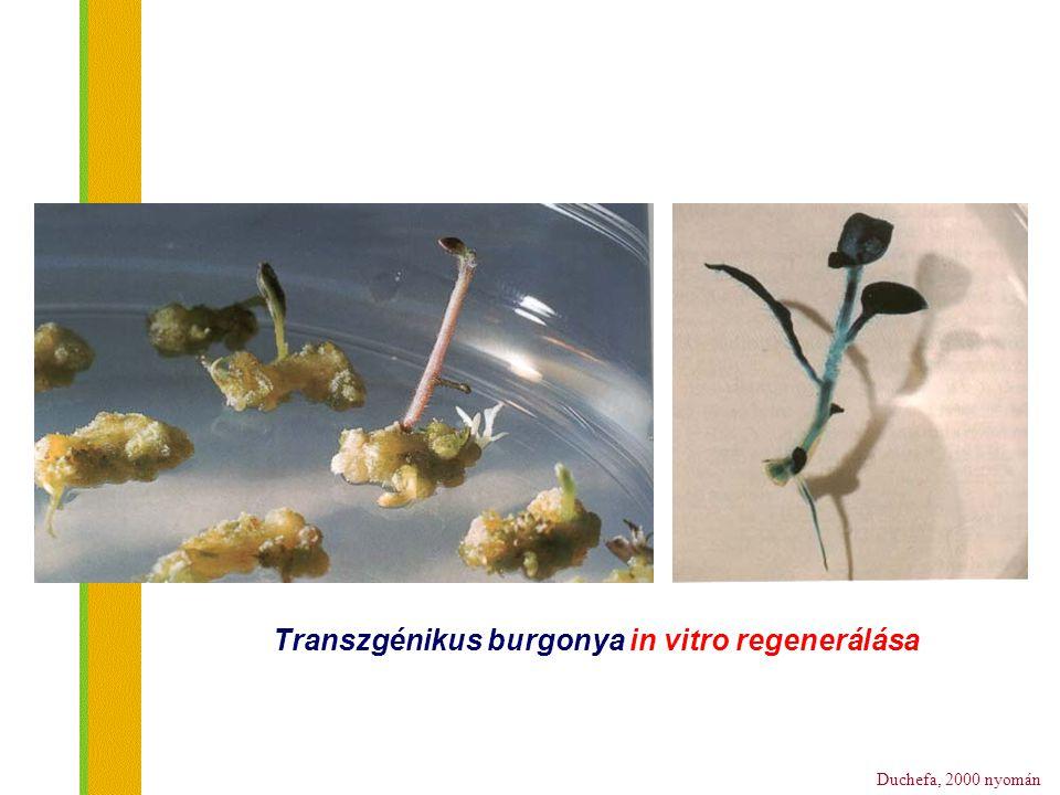Duchefa, 2000 nyomán Transzgénikus burgonya in vitro regenerálása