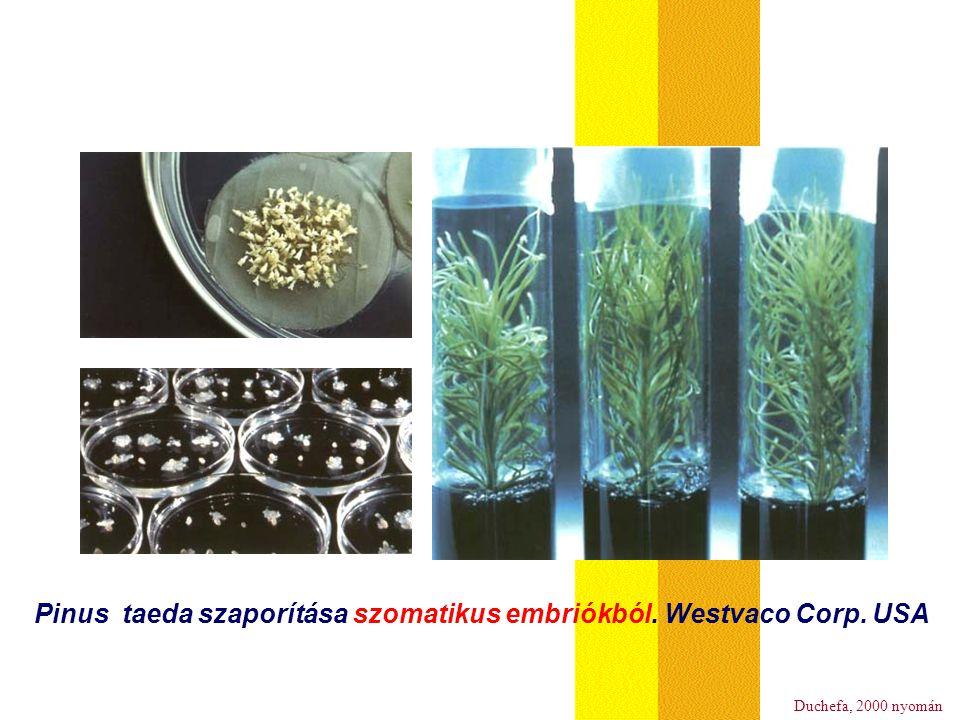 Pinus taeda szaporítása szomatikus embriókból. Westvaco Corp. USA Duchefa, 2000 nyomán