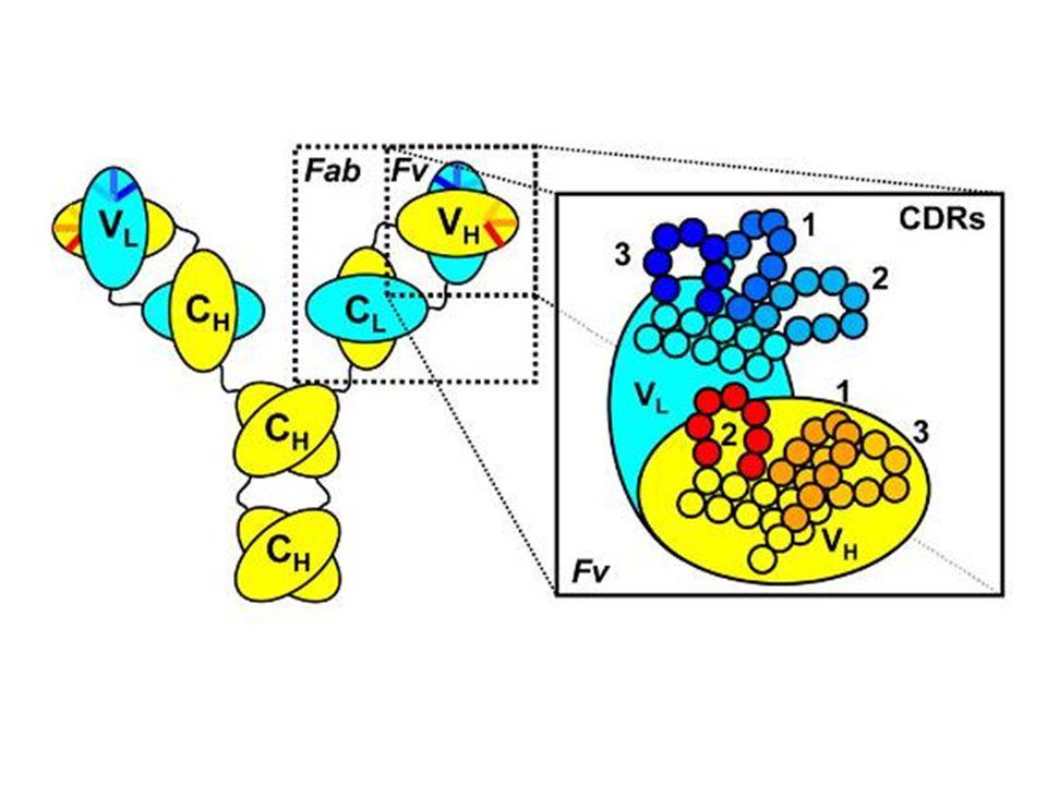 A VARIÁBILIS RÉGIÓ SZERKEZETE Hipervariábilis (HVR) vagy komplementaritást meghatározó régiók (CDR) HVR3 FR1 FR2 FR3 FR4 HVR1 HVR2 Variabilitás Index 25 75 50 100 Amino savak sorszáma N – C terminális 150 100 50 0 Váz (framework) szakaszok