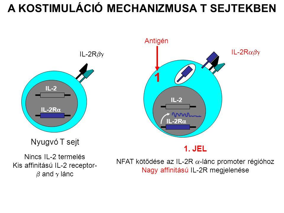 IL-2 IL-2R  Nincs IL-2 termelés Kis affinitású IL-2 receptor-  and  lánc A KOSTIMULÁCIÓ MECHANIZMUSA T SEJTEKBEN 1. JEL NFAT kötődése az IL-2R  -l