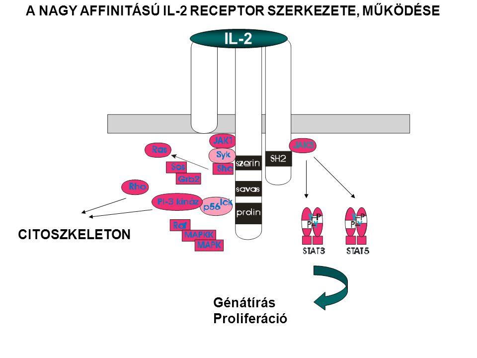α β γ IL-2 CITOSZKELETON Génátírás Proliferáció A NAGY AFFINITÁSÚ IL-2 RECEPTOR SZERKEZETE, MŰKÖDÉSE