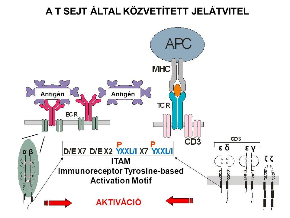 α βα β ε δ ε γ ζ ζζ ζ ITAM Immunoreceptor Tyrosine-based Activation Motif AKTIVÁCIÓ A T SEJT ÁLTAL KÖZVETÍTETT JELÁTVITEL Antigén