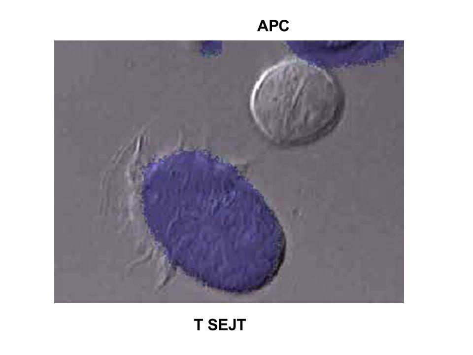 A HIVATÁSOS ANTIGÉN PREZENTÁLÓ SEJTEK SAJÁTSÁGAI Makrofág Dendritikus sejtB - limfocita Ag felvétel fagocitózis +++ fagocitózis +++ Ag-specifikus Ig vírus fertőzés ++++ ++++ MHC expresszió kiváltható +/+++ állandó ++++ állandó +++ baktérium, citokin éretlen/érett +++/++++ aktiváció ++++ Bemutatott Ag részecske Ag fehérje oldott fehérje intra/extracelluláris virus fehérje, allergén toxin patogének apoptótikus sejt Kostimuláció kiváltható +/++ állandó ++++ kiváltható +/+++ éretlen/érett +++/++++ Lokalizáció limfoid szövet limfoid szövet limfoid szövet kötőszövet kötőszövet perifériás vér testüregek epitélium Nyirokcsomó egyenletes éretlen – szövet tűsző érett – T-sejtes terület