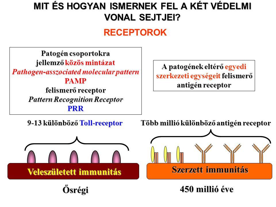 MIT ÉS HOGYAN ISMERNEK FEL A KÉT VÉDELMI VONAL SEJTJEI? Patogén csoportokra jellemző közös mintázat Pathogen-asszociated molecular pattern PAMP felism