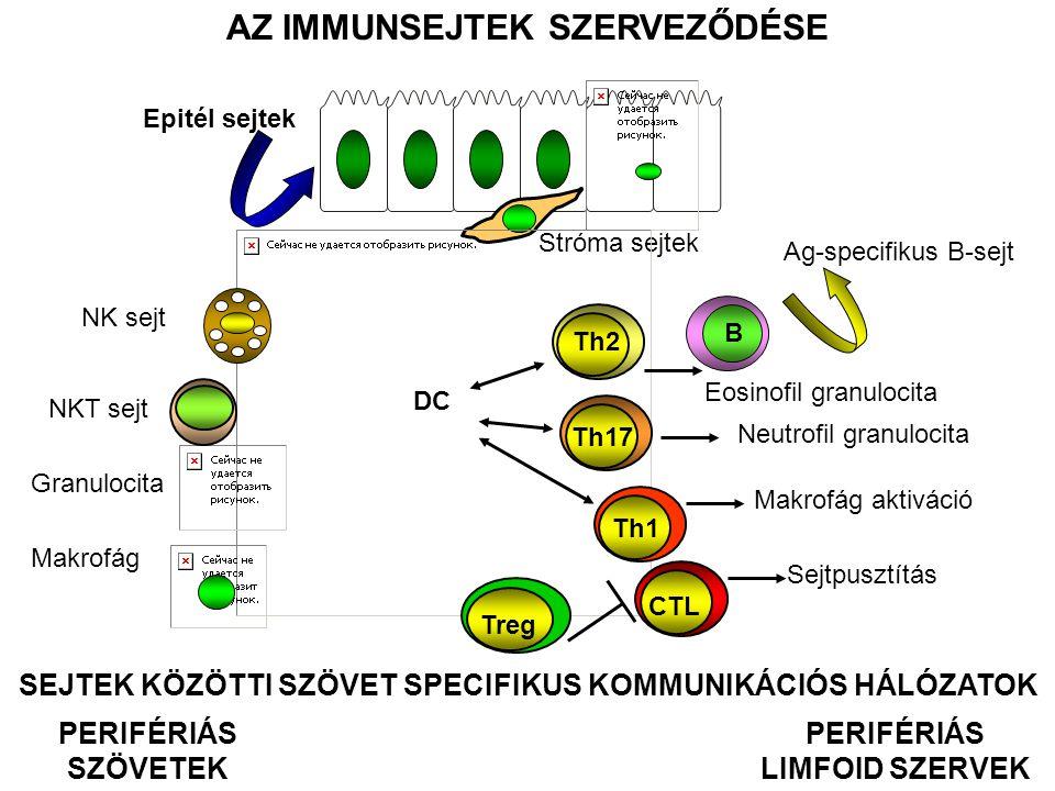 ÉRZÉKELÉSFELISMERÉS JELTOVÁBBÍTÁS VÁLASZ TERMÉSZETES IMMUNITÁS SZERZETT IMMUNITÁS ÉRZÉKELÉSFELISMERÉS JELTOVÁBBÍTÁS VÁLASZ SejtekReceptorokJelpályák Sejt-sejt együttműködés Végrehajtó folyamatok VÉDELMI RENDSZEREK