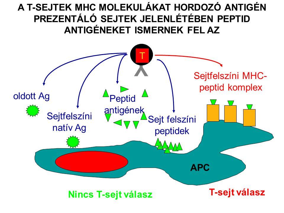 A T-SEJTEK MHC MOLEKULÁKAT HORDOZÓ ANTIGÉN PREZENTÁLÓ SEJTEK JELENLÉTÉBEN PEPTID ANTIGÉNEKET ISMERNEK FEL AZ Y T Nincs T-sejt válasz oldott Ag Sejtfelszíni natív Ag Peptid antigének Sejtfelszíni MHC- peptid komplex T-sejt válasz Sejt felszíni peptidek APC
