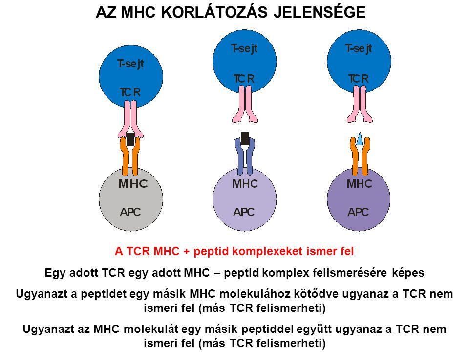 AZ MHC KORLÁTOZÁS JELENSÉGE A TCR MHC + peptid komplexeket ismer fel Egy adott TCR egy adott MHC – peptid komplex felismerésére képes Ugyanazt a peptidet egy másik MHC molekulához kötődve ugyanaz a TCR nem ismeri fel (más TCR felismerheti) Ugyanazt az MHC molekulát egy másik peptiddel együtt ugyanaz a TCR nem ismeri fel (más TCR felismerheti)