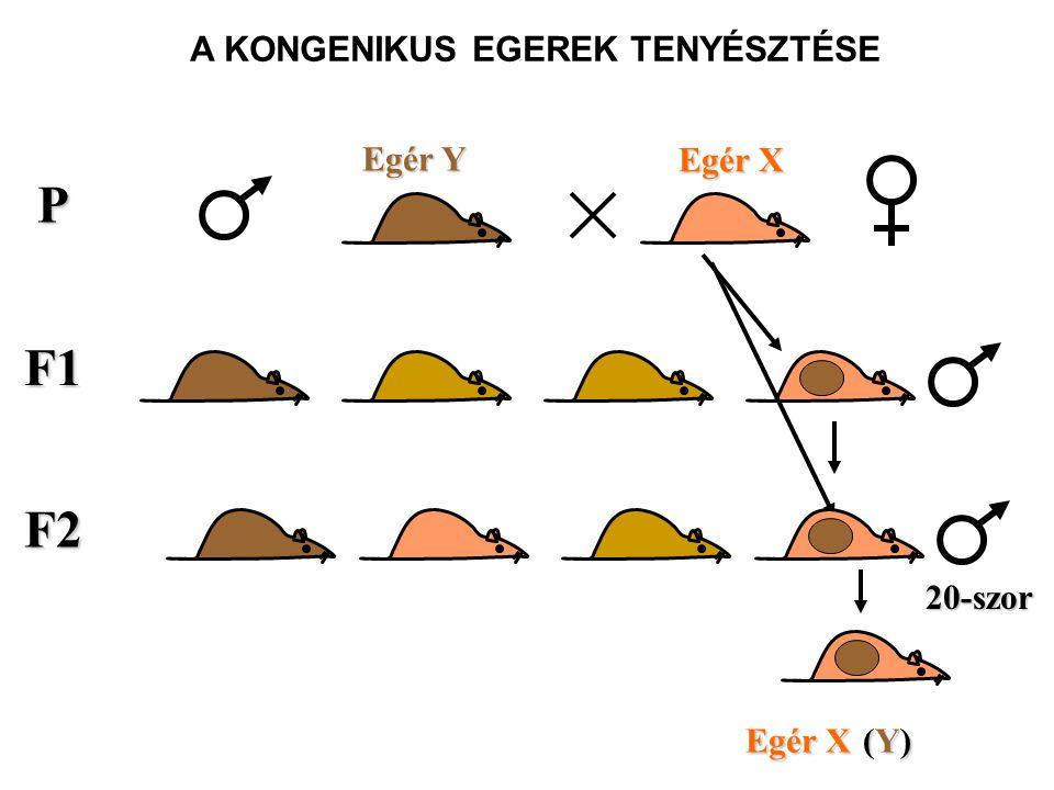 F1 P Egér X Egér Y 20-szor F2 A KONGENIKUS EGEREK TENYÉSZTÉSE Egér X (Y)