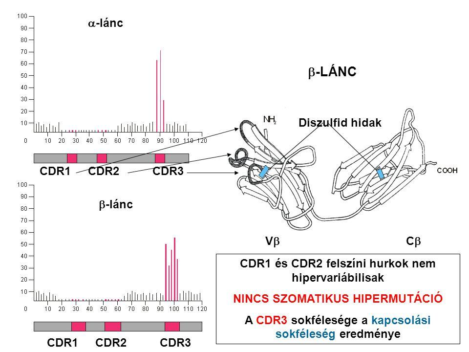 CDR1 CDR2 CDR3  -lánc  -lánc CDR1 CDR2 CDR3 VCVC  -LÁNC Diszulfid hidak CDR1 és CDR2 felszíni hurkok nem hipervariábilisak NINCS SZOMATIKUS HIPERMUTÁCIÓ A CDR3 sokfélesége a kapcsolási sokféleség eredménye