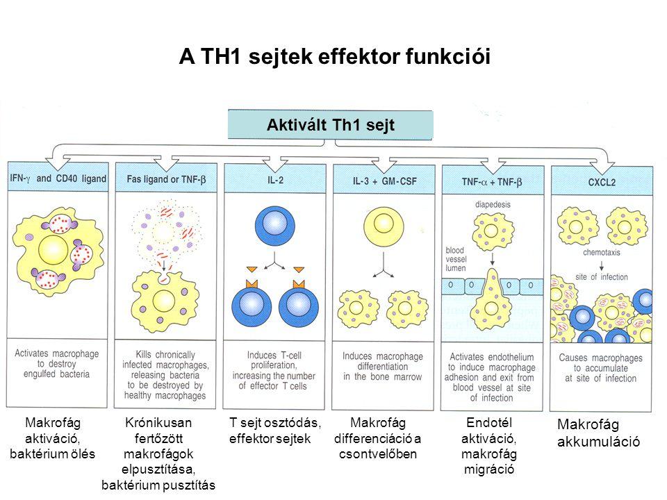 AZ IL-10 ELŐSEGÍTI A Th2 SEJTEK DIFFERENCIÁLÓDÁSÁT Th0 IL-10 Th1 IL-2 IFNγ TNF-β TNF-α GM-CSF IL-3 DC Saját szövet, tumor sejt IL-10 Makrofág Th2 IL-4 IL-5 IL-10 IL-13