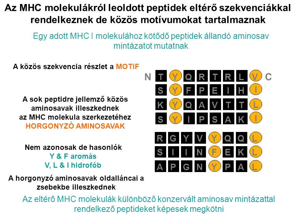 Az MHC molekulákról leoldott peptidek eltérő szekvenciákkal rendelkeznek de közös motívumokat tartalmaznak Egy adott MHC I molekulához kötődő peptidek
