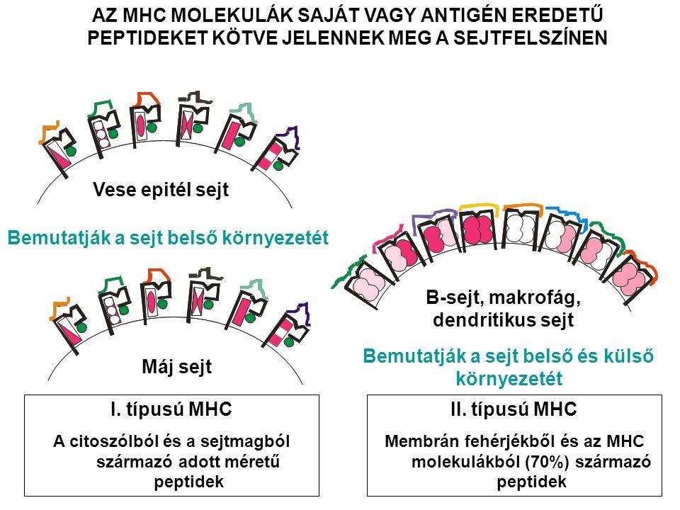 AZ MHC MOLEKULÁK SAJÁT VAGY ANTIGÉN EREDETŰ PEPTIDEKET KÖTVE JELENNEK MEG A SEJTFELSZÍNEN B-sejt, makrofág, dendritikus sejt Vese epitél sejt Máj sejt