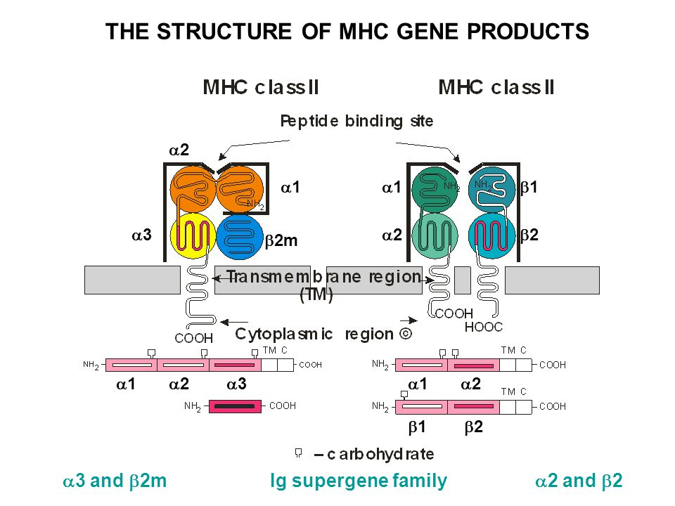 THE STRUCTURE OF MHC GENE PRODUCTS 33  2m 22 11 11 22 22 11  1  2  3  1  2  1  2  3 and  2m Ig supergene family  2 and  2