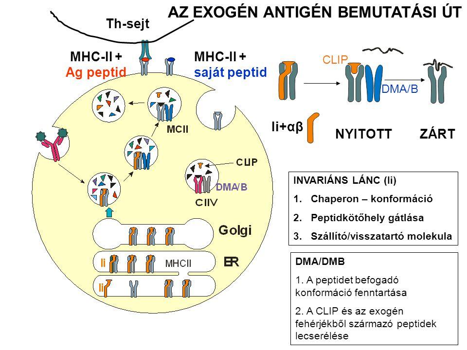 Th-sejt INVARIÁNS LÁNC (Ii) 1.Chaperon – konformáció 2.Peptidkötőhely gátlása 3.Szállító/visszatartó molekula AZ EXOGÉN ANTIGÉN BEMUTATÁSI ÚT DMA/DMB