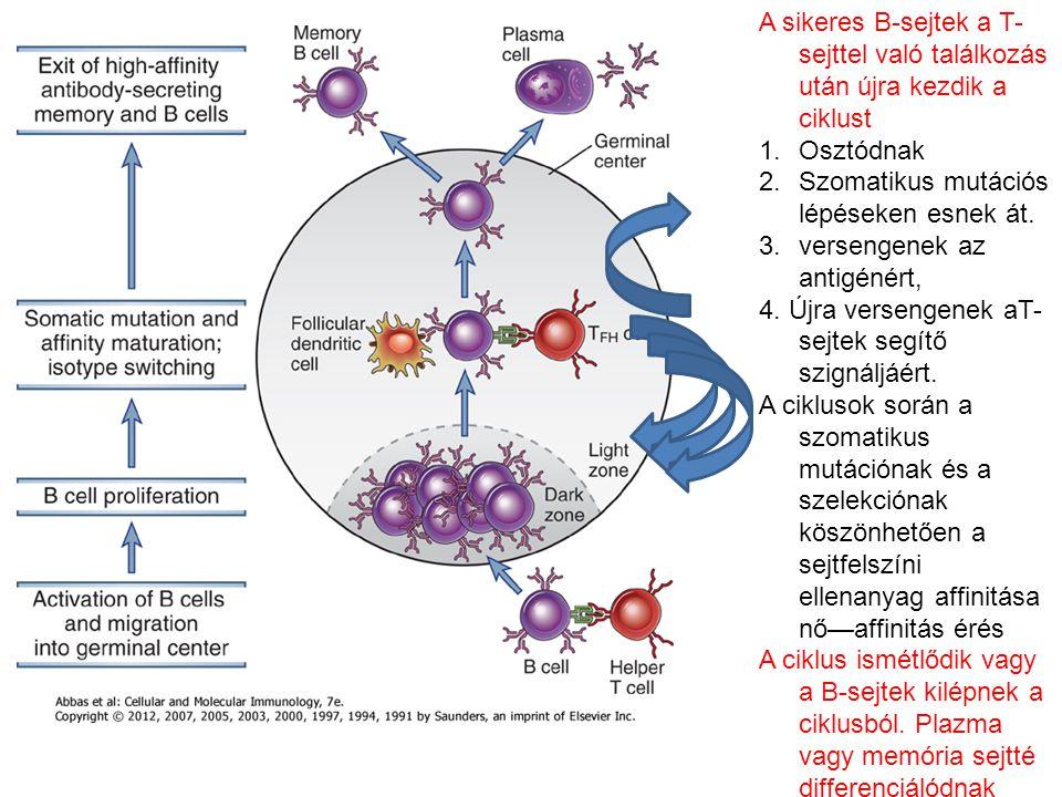 A sikeres B-sejtek a T- sejttel való találkozás után újra kezdik a ciklust 1.Osztódnak 2.Szomatikus mutációs lépéseken esnek át. 3.versengenek az anti