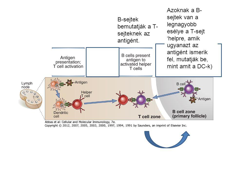 B-sejtek bemutatják a T- sejteknek az antigént. Azoknak a B- sejtek van a legnagyobb esélye a T-sejt 'helpre, amik ugyanazt az antigént ismerik fel, m