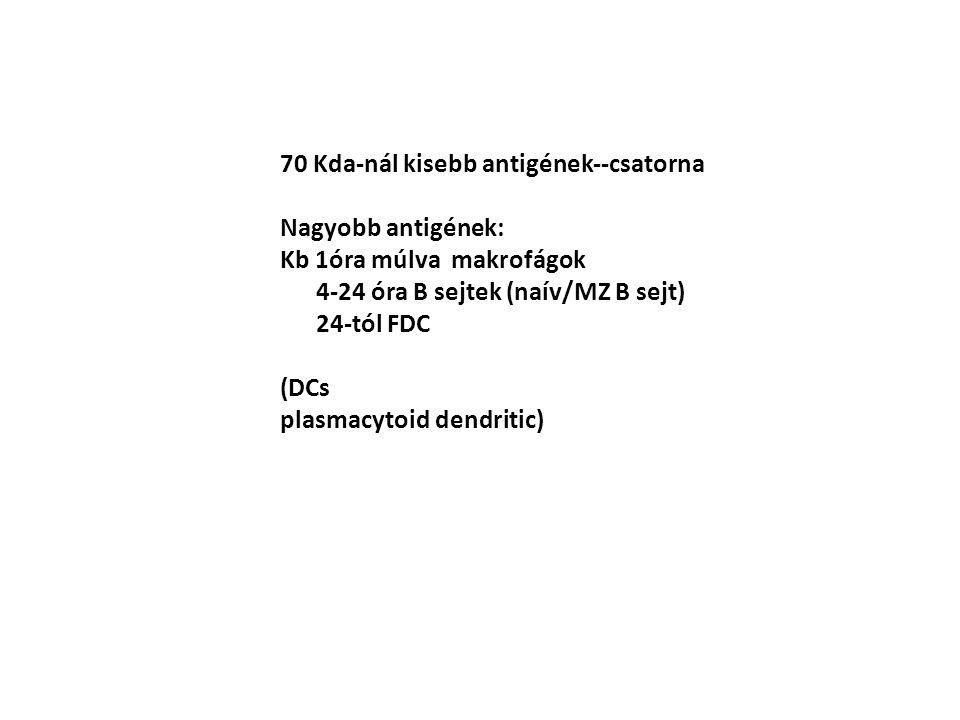 70 Kda-nál kisebb antigének--csatorna Nagyobb antigének: Kb 1óra múlva makrofágok 4-24 óra B sejtek (naív/MZ B sejt) 24-tól FDC (DCs plasmacytoid dend