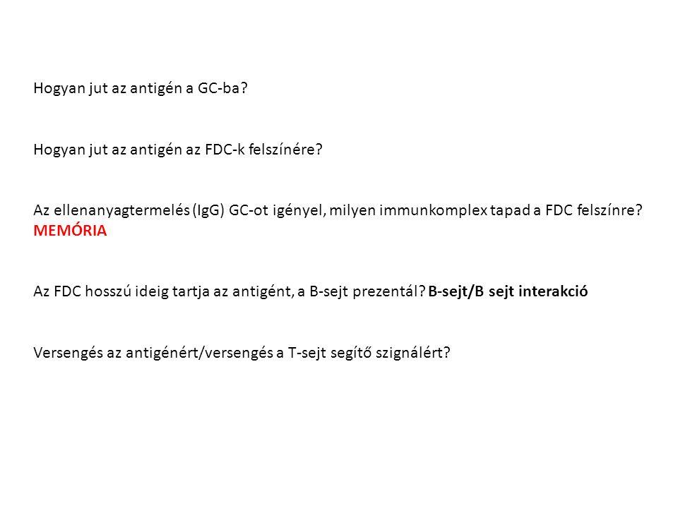 Hogyan jut az antigén a GC-ba? Hogyan jut az antigén az FDC-k felszínére? Az ellenanyagtermelés (IgG) GC-ot igényel, milyen immunkomplex tapad a FDC f