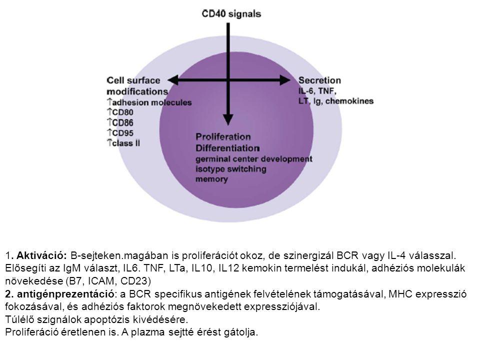 1. Aktiváció: B-sejteken.magában is proliferációt okoz, de szinergizál BCR vagy IL-4 válasszal. Elősegíti az IgM választ, IL6. TNF, LTa, IL10, IL12 ke