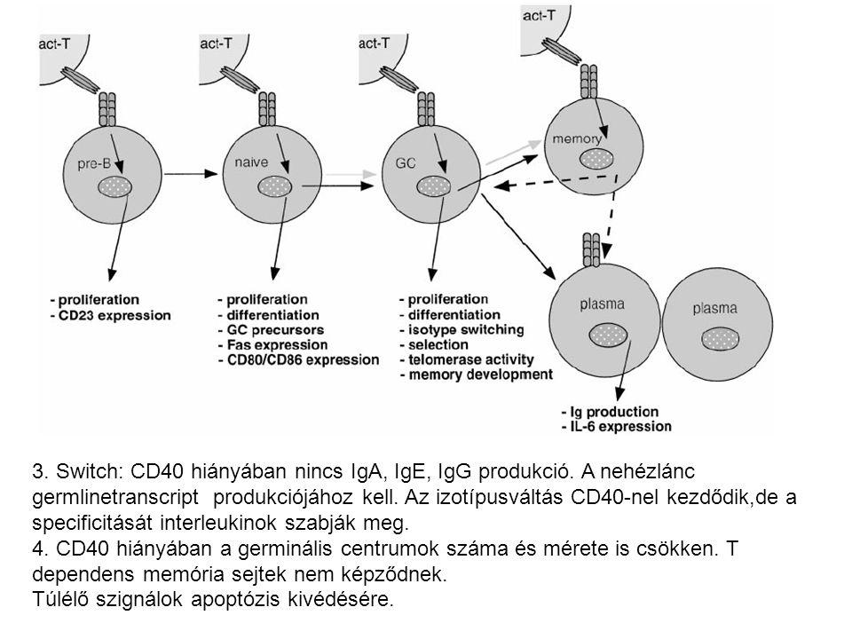 3. Switch: CD40 hiányában nincs IgA, IgE, IgG produkció. A nehézlánc germlinetranscript produkciójához kell. Az izotípusváltás CD40-nel kezdődik,de a
