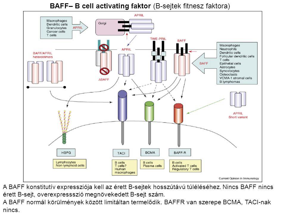 . BAFF– B cell activating faktor (B-sejtek fitnesz faktora) A BAFF konstitutív expressziója kell az érett B-sejtek hosszútávú túléléséhez. Nincs BAFF