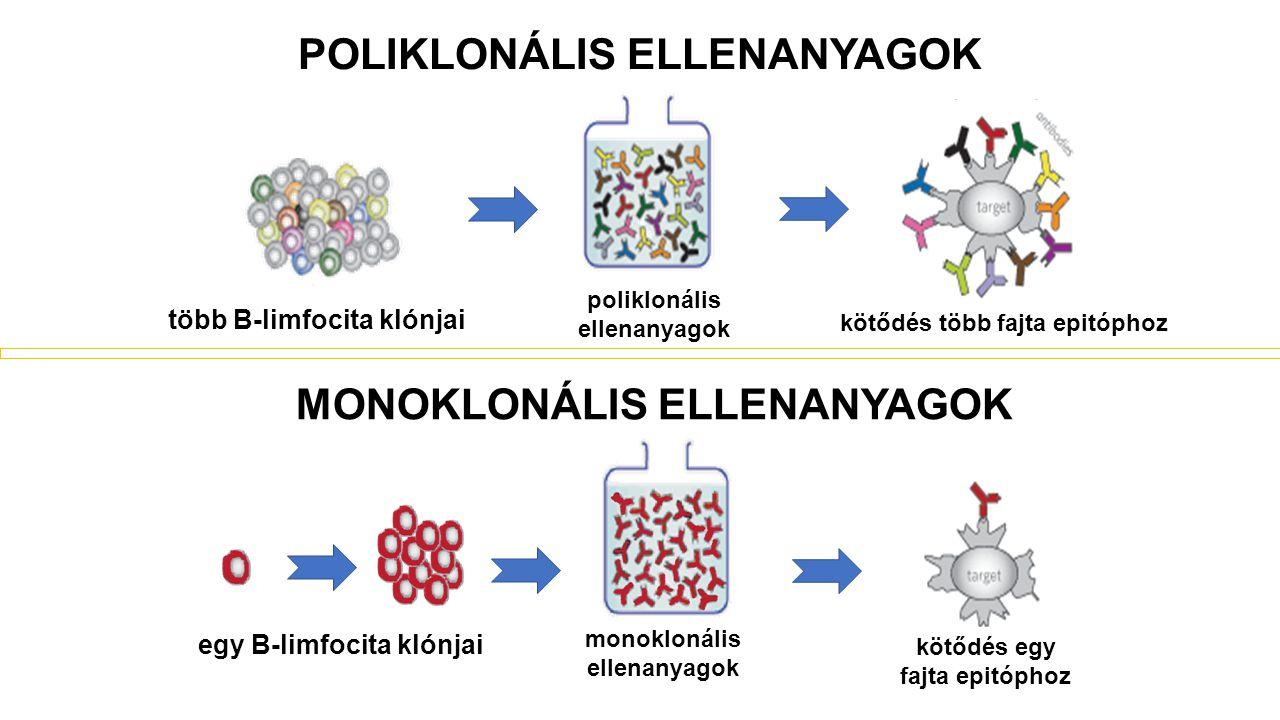 MONOKLONÁLIS ELLENANYAGOK monoklonális ellenanyagok egy B-limfocita klónjai kötődés egy fajta epitóphoz poliklonális ellenanyagok több B-limfocita klónjai POLIKLONÁLIS ELLENANYAGOK kötődés több fajta epitóphoz