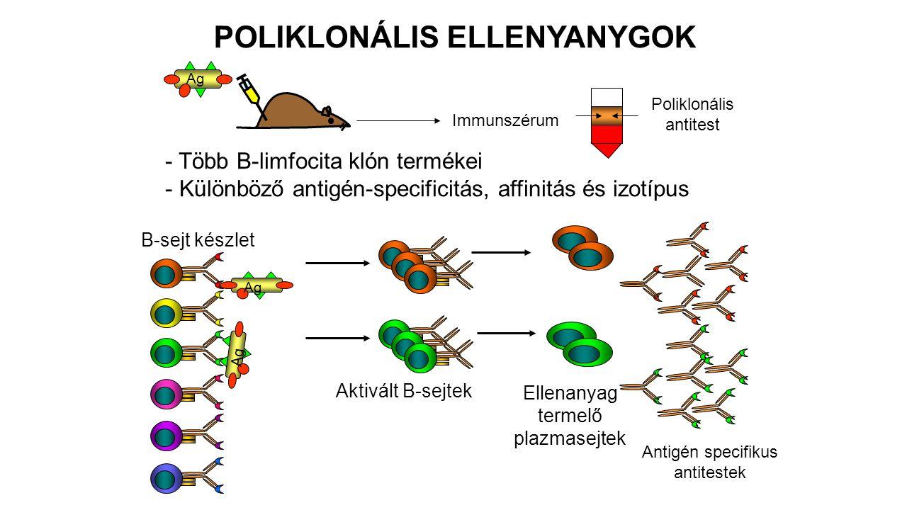 POLIKLONÁLIS ELLENYANYGOK Ag Immunszérum Poliklonális antitest Ag B-sejt készlet Aktivált B-sejtek Ellenanyag termelő plazmasejtek Antigén specifikus