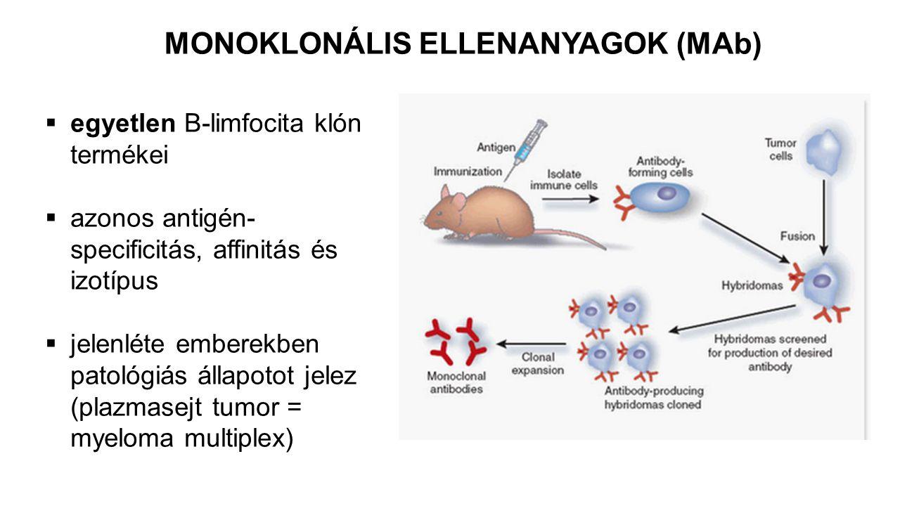 MONOKLONÁLIS ELLENANYAGOK (MAb)  egyetlen B-limfocita klón termékei  azonos antigén- specificitás, affinitás és izotípus  jelenléte emberekben patológiás állapotot jelez (plazmasejt tumor = myeloma multiplex)