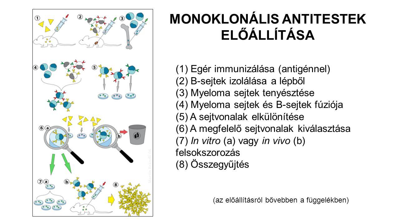 (1) Egér immunizálása (antigénnel) (2) B-sejtek izolálása a lépből (3) Myeloma sejtek tenyésztése (4) Myeloma sejtek és B-sejtek fúziója (5) A sejtvonalak elkülönítése (6) A megfelelő sejtvonalak kiválasztása (7) In vitro (a) vagy in vivo (b) felsokszorozás (8) Összegyűjtés MONOKLONÁLIS ANTITESTEK ELŐÁLLÍTÁSA (az előállításról bővebben a függelékben)