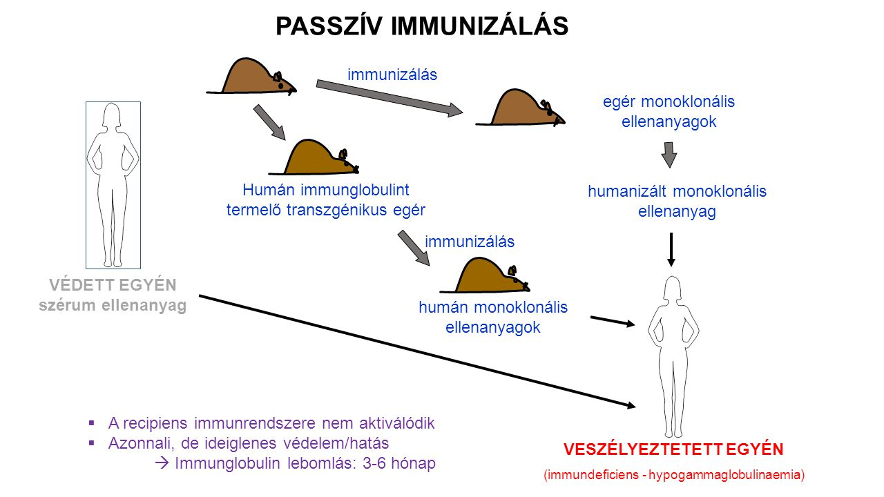 VÉDETT EGYÉN szérum ellenanyag PASSZÍV IMMUNIZÁLÁS  A recipiens immunrendszere nem aktiválódik  Azonnali, de ideiglenes védelem/hatás  Immunglobulin lebomlás: 3-6 hónap Humán immunglobulint termelő transzgénikus egér egér monoklonális ellenanyagok VESZÉLYEZTETETT EGYÉN (immundeficiens - hypogammaglobulinaemia) immunizálás humán monoklonális ellenanyagok humanizált monoklonális ellenanyag immunizálás