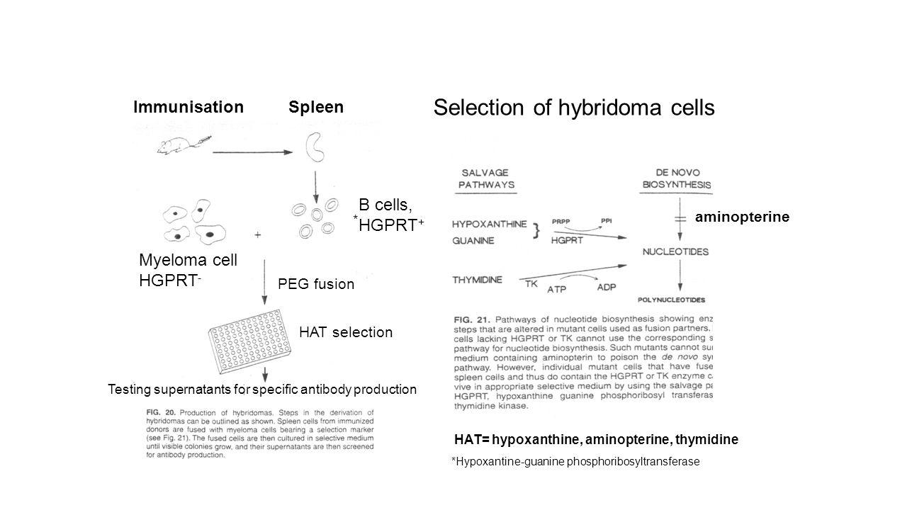 Spleen Immunisation Myeloma cell HGPRT - B cells, HGPRT + PEG fusion HAT selection Testing supernatants for specific antibody production Selection of hybridoma cells *Hypoxantine-guanine phosphoribosyltransferase * HAT= hypoxanthine, aminopterine, thymidine aminopterine
