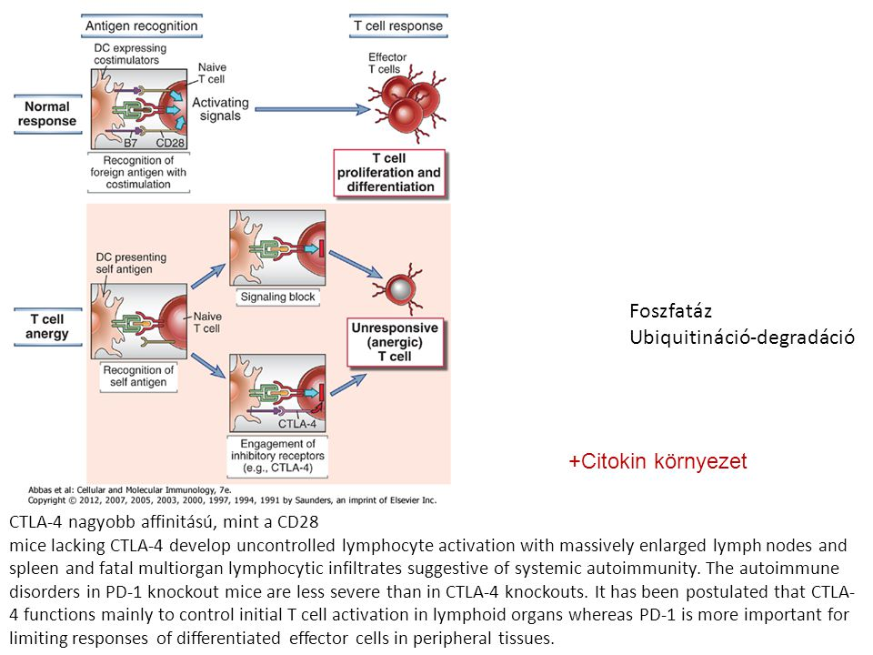 Foszfatáz Ubiquitináció-degradáció CTLA-4 nagyobb affinitású, mint a CD28 mice lacking CTLA-4 develop uncontrolled lymphocyte activation with massivel
