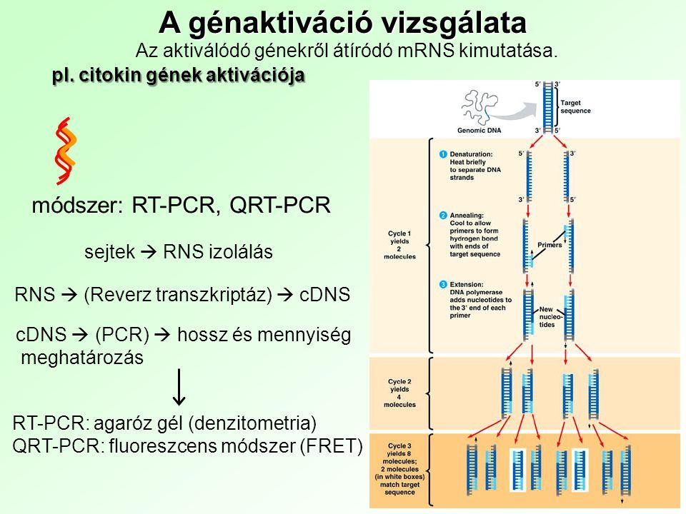 módszer: RT-PCR, QRT-PCR A génaktiváció vizsgálata Az aktiválódó génekről átíródó mRNS kimutatása.